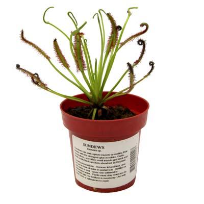 LIVE Adult 'Cape' Sundew Plant